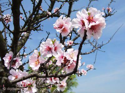 Rosa Wochen - zur Mandelblüte Schweigen-Rechtenbach