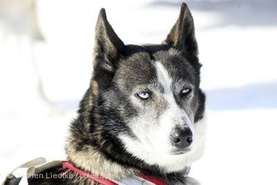 Schlittenhunderennen Saignelégier am 25.01.2020 bis 26.01.2020