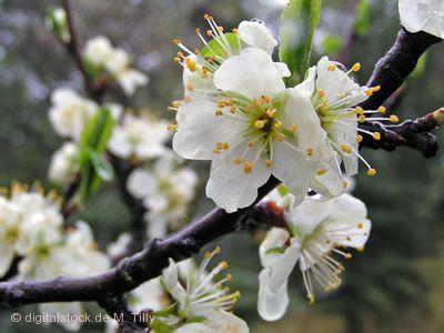Kirschblütenzauber in Mösbach Achern
