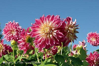 Dahlienblüte und Wahl der Mainau-Dahlienkönigin Insel Mainau