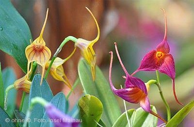 Orchideenausstellung im Palmenhaus Insel Mainau