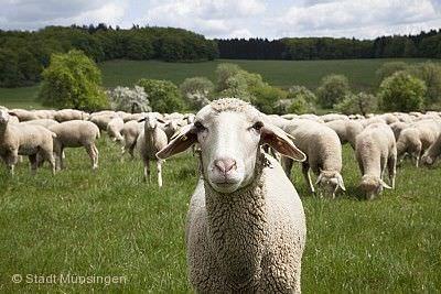 Münsinger Schafauftrieb mit Kunst- und Gartenmarkt Münsingen