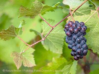 Kulinarische Weinwanderung in den Buchholzer Rebbergen Waldkirch am 03.10.2020