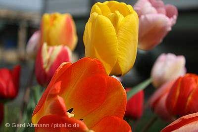 Gönninger Tulpenblüte Reutlingen